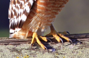 021115pic - hawk