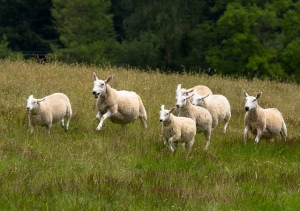 sheep running