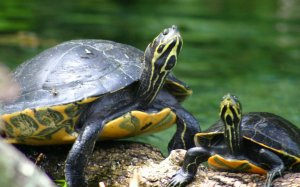 two-turtle_99519-1440x900