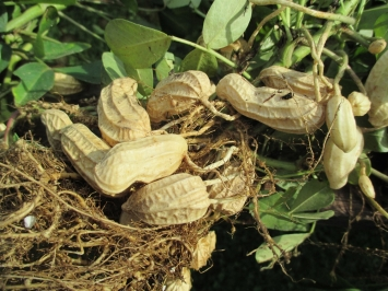 peanutplants